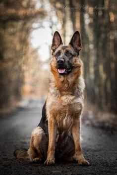 Just GSD - German shepherd dog in the forest. | Anna Postnikova