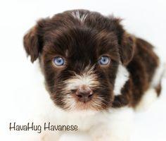 Blue Eyed Chocolate Havanese Puppy at HavaHug Havanese <3   www.havahughavanese.com