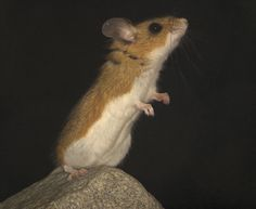 Deer mouse  Photo credit: Mark A. Chappell