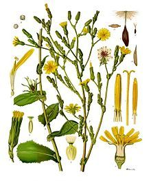 Wild Lettuce (Photo Source) Lactuca Virosais the scientific term for it, and many people have used it in place of addictive prescription pain medicine. It's a leafy and tall plant, with small yel…