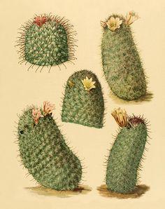 He encontrado este interesante anuncio de Etsy en https://www.etsy.com/es/listing/169440135/vintage-cactus-art-print-antique-prints