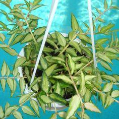 Hoya bella 'Luis Bois' $$$$ SRQ 3074 Hoya bella 'Luis Bios' - $16.00 : Hoya Plants and Cuttings