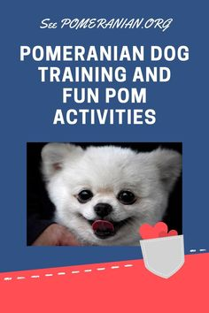 Pomeranian Dog Training. Fun outdoor activities with your Pom dog. #dochlaggie #pomeranian Siberian Husky Puppies, Pomeranian Puppy, Siberian Huskies, Puppy Images, Cute Puppy Pictures, Fun Outdoor Activities, Outdoor Fun, Architecture Design, Pom Dog