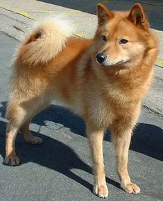 Finnish Spitz-- makes for an excellent watchdog. Independent and active, yet they love to just be with people.
