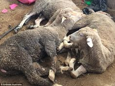 Sheep and cattle had their limbs tied and were denied access to water during periods of ex...