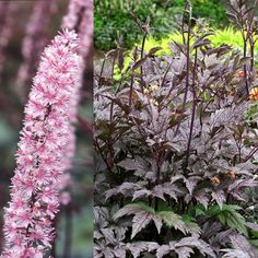 actaea simplex pink spike | Actaea racemosa 'Pink Spike' - Trajnice CarniolaTrajnice Carniola
