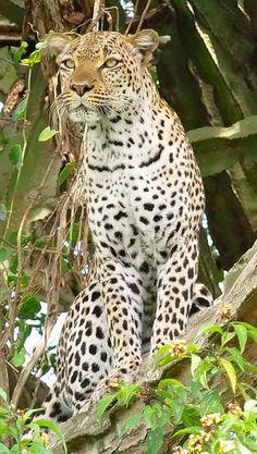 Beautiful leopard up in a euphorbia tree in Queen Elizabeth National Park, Uganda