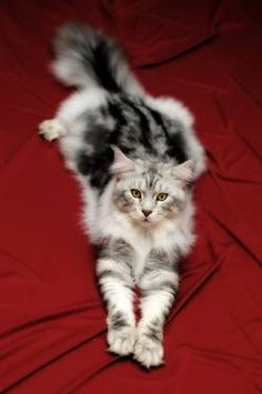 Be still my heart....Come Home with me Big Boy!!...Beautiful Maine Coon