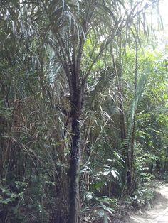 Andando com Formigas: Palmeira Tucumã