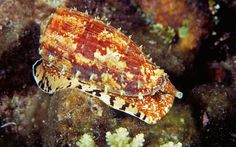 Cone Snail.  It's no ordinary snail. One drop of its poison is potent enough to end life line of 20 at a time. And to add more horror to it, there is no antidote. Once stung by it,  you hardly have a time to smoke a cigarette.