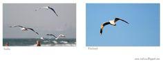 Flying seagulls - Lentäviä lokkeja