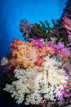 Soft Coral at Turtle Cove - Palau♥PM Some of the coral left in the world! PROTECT OUR REEFS X