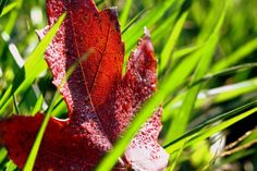 Red Leaf  by Chelsea Lowman on Capture Maryland // Autumn leaf in the grass.