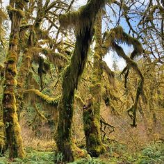 Hall of Mosses trail in the Hoh Rainforest #takethetrail #Padgram