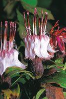 La familia de las asteráceas es una de las más diversificadas en la alta montaña. Espino, Barnadesia espinosa, un arbolito característico del bosque andino, cuya atractiva flor es polinizada por el colibrí.
