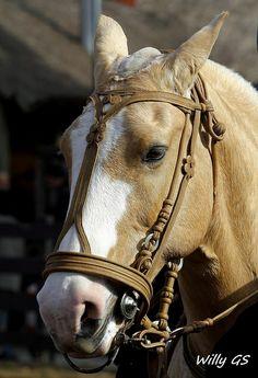 stunning horse in leather mount Cute Horses, Pretty Horses, Horse Love, Horse Bridle, Horse Gear, Most Beautiful Horses, Animals Beautiful, Horse Adventure, Horse Braiding