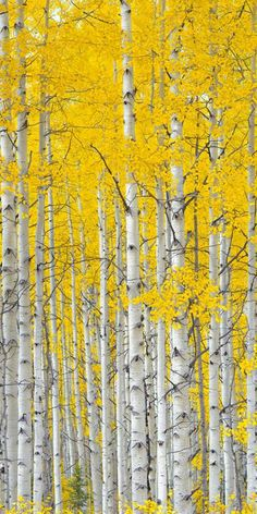 Aspens by Igor Menaker Fine Art Photography, Nature Photography, Art Et Nature, Birch Tree Art, Aspen Trees, Tree Forest, Mellow Yellow, Belle Photo, Painting Inspiration