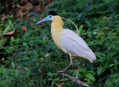 Capped Heron (Pilherodius pileatus), South America, photo by Lindolfo Souto.