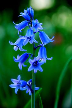 bluebells.... beautiful, but looked at with sadness as these are the favorite flower of one of my friends that isn't with us any more and I miss her a lot!