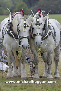 Percheron pair...so sweet!