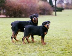 Everything you want to know about Rottweilers including grooming, training, health problems, history, adoption, finding good breeder and more.