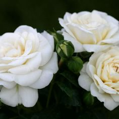 White Diamond: Hedge, Cutting, Fragrance