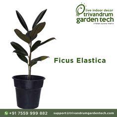 Trivandrum Garden Tech: Ficus Elastica