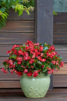 The Surefire series of begonias are robust plants that will grow and bloom right into fall. An easy flowering annual for the shade garden.