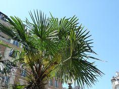 Palmier (Trachycarpus fortunei) dans le square Saint-Lambert, Paris 15e (75), 26 mai 2012, photo Alain Delavie  http://www.pariscotejardin.fr/2012/05/du-soleil-un-palmier-paris-exotique/