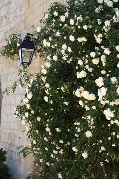 full size picture of climbing rose 'guirlande d' amour' (rosa