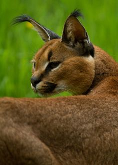 Caracal by JasonBrownPhotography