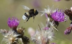 For the first time ever in the continental United States, a bee species — the rusty patched bumblebee — was placed on the endangered species list in the final days of the Obama administration. But along came Trump and, almost immediately, away went that bumblebee's protection under the Endangered Species Act, at least for now.
