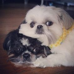 rest shih tzu faces #shihtzu