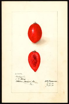 Artist:     Passmore, Deborah Griscom, 1840-1911  Scientific name:     Carissa macrocarpa  Common name:     natal plum  Variety:     Maritzgula  Geographic origin:     Miami, Dade County, Florida, United States  Physical description:     1 art original : col. ; 17 x 25 cm.  Specimen:     47082  Year:     1910  Notes on original:     Elkton, VA  Date created:     1910-07-15