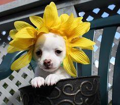 Sunflower Dog!
