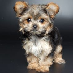 A Morkie fur baby.  Anything that is part Yorkie is naturally gorgeous. Just Saying.......