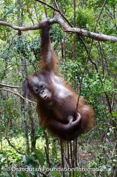 List Of Animals, Wild Animals, Animals And Pets, Cute Animals, Primates, Baby Orangutan, Ape Monkey, Mountain Gorilla, Animal Species