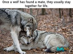 The wolf, also known as the grey/gray wolf or timber wolf, is a canine native to the wilderness and remote areas of Eurasia and North America. Beautiful Wolves, Animals Beautiful, Cute Animals, Wild Animals, Baby Animals, Wolf Spirit, My Spirit Animal, Wolf Pictures, Animal Pictures