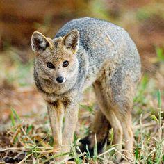 O cachorro-do-mato-de-orelhas-curtas ocorre no bioma Amazônia, no Acre…