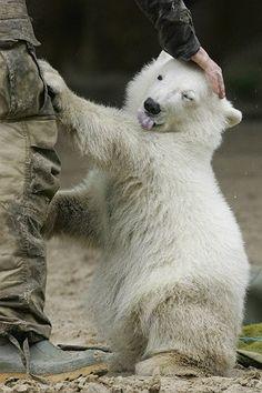 Knut so cute...