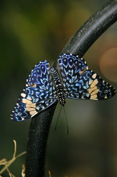 Blue Butterfly at the San Diego Zoo.   by Rich Thompson via Flickr