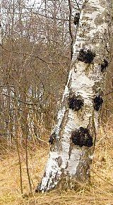 Chaga (inonotus obliquus) growing on trunk of Birch tree Natural Cancer Cures, Natural Cures, Mushroom Benefits, Mushroom Tea, Mushroom Fungi, Cancer Fighting Foods, Wild Edibles, Medicinal Plants, Herbalism