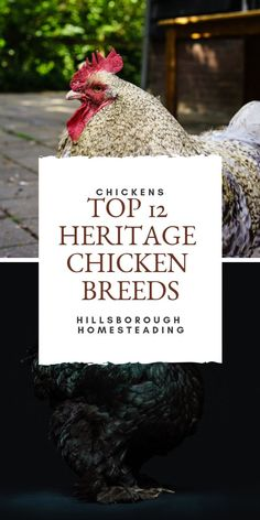 Ever heard of heritage chicken breeds? Learn more about these endangered animals and find out which birds are the best for your backyard poultry pets. Which hens are better for eggs or meat Rhode Island reds or buff orpingtons? Click the pin to find out! Meat Chickens Breeds, Types Of Chickens, Raising Backyard Chickens, Backyard Poultry, Poultry Breeds, Heritage Chicken Breeds, Heritage Chickens, Raising Farm Animals, Raising Goats