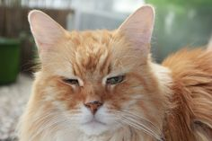Maine Coon Cats for adoption Cat Throwing Up, Cat Allergies, Maine Coon Kittens, Outdoor Cats, Cat Food, Kitty, Gallery, Adoption, Animals