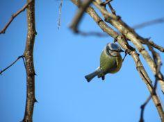 Chapim-azul (Parus caeruleus)