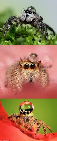 How cute are they! Indonesian photographer Uda Dennie documents how fashionable jumping spiders look wearing water droplets as hats. Animals And Pets, Baby Animals, Funny Animals, Cute Animals, Unique Animals, Beautiful Creatures, Animals Beautiful, Cool Bugs, Jumping Spider