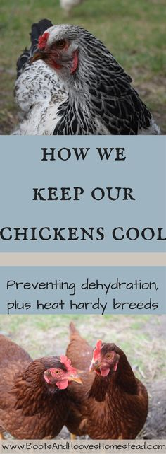 How do we keep our chickens cool during those hot summer days? A few simple little things that we do inexpensively, help keep our chickens healthy, happy, and comfortable during the hottest days of summer. The last thing that I want is for our chickens to
