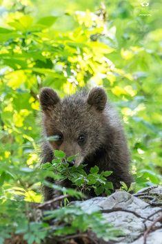 Brown Bear Cub Innocence by Josef Gelernter / 500px