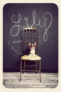 """Miss Lily Evan Potter at 8 weeks :)"" { this is a neat photography idea for kids or pets.  place them in front of a chalkboard wall with name, age, height, etc.  she is a cute little corgi! }"