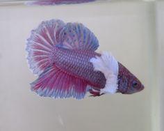 Tropical fish export and import betta: Dumbo big ear Halfmoon Plakats